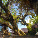 Temple tree, Bali